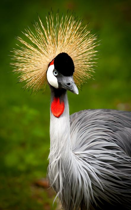 Thomas Detzner - Crowned Crane - Salon Urkunde - 2nd Balkan Circuit 2016