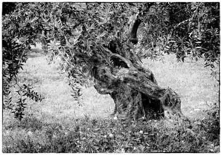 Ursula Bruder -Old gnarled olive tree-RPS Mention-International Salon Shadow 2015